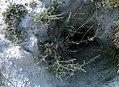 Крейдяні відслонення Artemisia cretacea.jpg