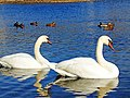 Лебеді на озері Ріпне1.jpg