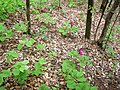 Мушки божур, локалитет Вујан (Paeonia corallina).jpg