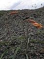 Тюльпан змеелистый на сланце - Заказник Нагольный кряж.jpg