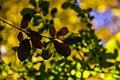 برگ زرد-پاییز-yellow leaves-falling leaves 26.jpg