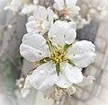 زهرة اللوز.jpg