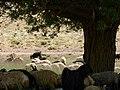 گوسفند Sheep 3.jpg