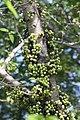 มะเดื่ออุทุมพร Ficus racemosa L (9).jpg
