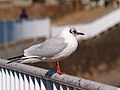 ユリカモメ (百合鴎) (Black-headed Gull) (Larus ridibundus) (7254270484).jpg