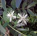 光梗毛柱鐵線蓮 Clematis meyeniana v insularis -沖繩東南植物樂園 Southeast Botanical Gardens, Okinawa- (9582983062).jpg