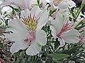 六出花 Alstroemeria Konalaya Himalaya -荷蘭園藝展 Venlo Floriade, Holland- (9226998063).jpg