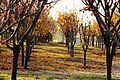 千树园 - panoramio (2).jpg