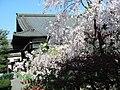善光寺京都別院 得浄明院「しだれ桜」 - panoramio.jpg