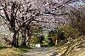 四山神社の桜 - panoramio.jpg