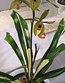 報歲大虎斑 Cymbidium sinense 'Big Tiger Spots' -香港沙田國蘭展 Shatin Orchid Show, Hong Kong- (12712610615).jpg