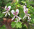 天竺葵屬 Pelargonium tricuspidatum -比利時國家植物園 Belgium National Botanic Garden- (9227007571).jpg
