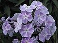 宿根福祿考(天藍鏽球) Phlox paniculata -英格蘭 Wisley Gardens, England- (9200912050).jpg