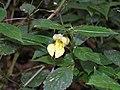 小花鳳仙花 Impatiens parviflora -台北花博 Taipei Flora Expo- (9213307501).jpg