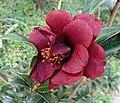 山茶花-黑鳥 Camellia japonica Kurosuzume -香港動植物公園 Hong Kong Botanical Garden- (40165137322).jpg