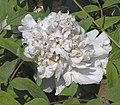 牡丹-琉璃貫珠 Paeonia suffruticosa -菏澤百花園 Heze, China- (12478262304).jpg