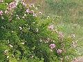 球磨川のツクシイバラ Rosa multiflora adenochaeta of Kumagawa River. - panoramio.jpg