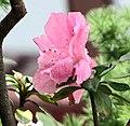 皋月杜鵑 Rhododendron indicum -香港花展 Hong Kong Flower Show- (35998789365).jpg