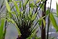 竹露 Bamboo Dewdrops - panoramio.jpg