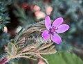 芹葉牻牛兒苗 Erodium cicutarium -波蘭 Krakow Divine Mercy Sanctuary, Poland- (36515368522).jpg