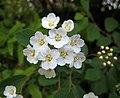菱葉綉線菊 Spiraea x vanhouttei -捷克 Krumlov, Czech- (27490762661).jpg