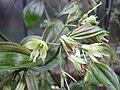 萬壽竹 Disporum cantoniense -比利時 Ghent University Botanical Garden, Belgium- (9219891385).jpg