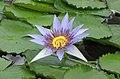藍睡蓮 Nymphaea caerulea -比利時國家植物園 Belgium National Botanic Garden- (9200948666).jpg
