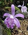 雲南獨蒜蘭 Pleione yunnanensis -日本大阪鮮花競放館 Osaka Sakuya Konohana Kan, Japan- (42205789301).jpg