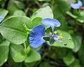 飯包草 Commelina benghalensis -哥本哈根大學植物園 Copenhagen University Botanical Garden- (36598949520).jpg