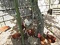 -2019-08-24 Chicken's in a pen, Trimingham (1).JPG