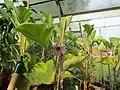 -2020-09-11 Aubergine plant ΄Moneymaker F1΄ (Solanum melongena), Trimingham, Norfolk.JPG