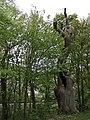 02 Geistereiche in der Ahe Kreis Rothenburg Niedersachsen.jpg