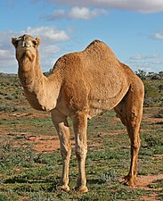 07. Camel Profile, near Silverton, NSW, 07.07.2007.jpg