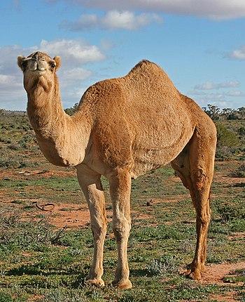 English: Dromedary camel in outback Australia,...