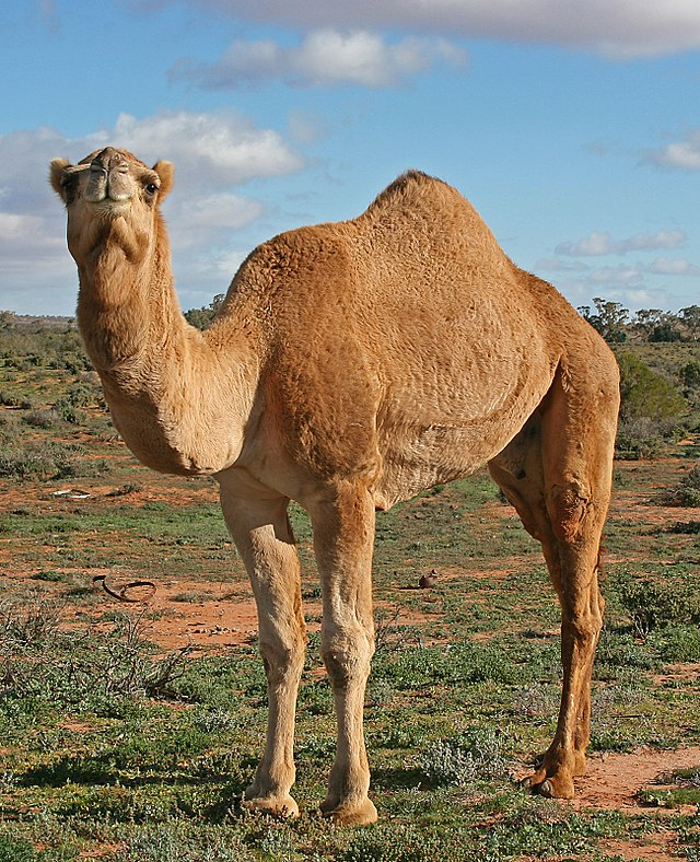 Image shows a dromedary camel standing in profile, with its head turned toward the camera. It appears to be smiling.