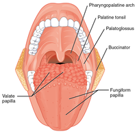 1109 Muscles that Move the Tongue Palatoglossus and surface.png