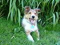 12 week old Sheltie pup.jpg