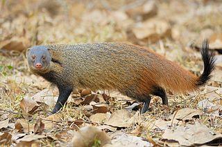 Stripe-necked mongoose species of mammal