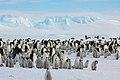 2007 Snow-Hill-Island Luyten-De-Hauwere-Emperor-Penguin-33.jpg