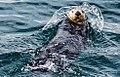2011 Kenai Fjords Sea Otter-3 (6009163594).jpg