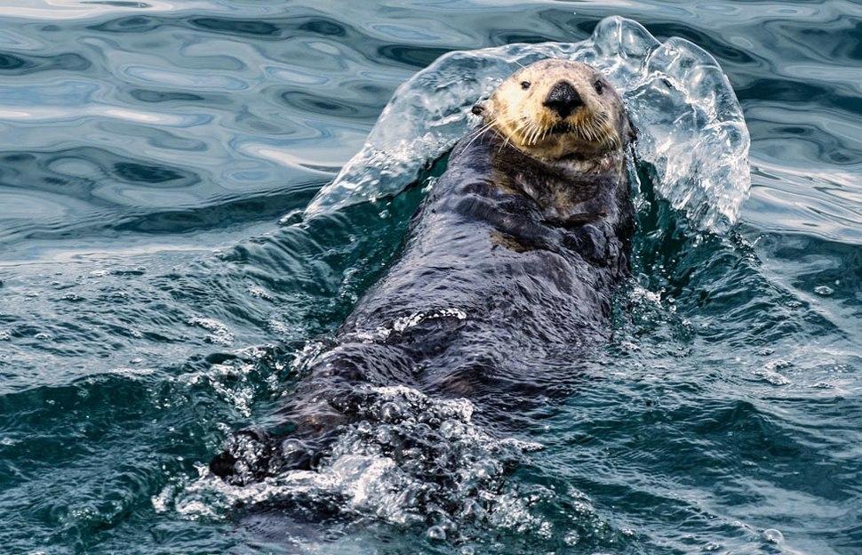 2011 Kenai Fjords Sea Otter-3 (6009163594)