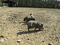 2013-04-17 10-42-51-cochons.jpg