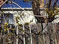 2013-04-18 15 17 26 Siberian Elm flowering in Elko, Nevada.JPG