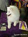 2013 Westminster Kennel Club Dog Show- American Eskimo Dog GCH Nuuktok's Atka Inukshuk (8465556427).jpg