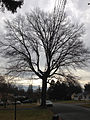 2014-12-28 11 43 38 Pin Oak on Terrace Boulevard in Ewing, New Jersey.JPG