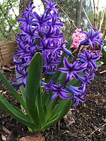 2015-04-10 07 43 26 Purple hyacinths on Hoga Road in Sterling, Virginia.jpg