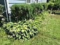 2015-07-20 12 22 44 Hosta flowering along Terrace Boulevard in Ewing, New Jersey.jpg
