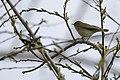 20150419 061 Kessel Weerdbeemden Fitis, Willow Warbler, Phylloscopus trochilus (17015671529).jpg