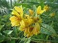 20150813Lysimachia vulgaris2.jpg