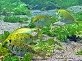 2015 09 Bali 83 fat yellow fish (22093255515).jpg